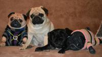 Мопсы из колготок рядом с реальными собаками